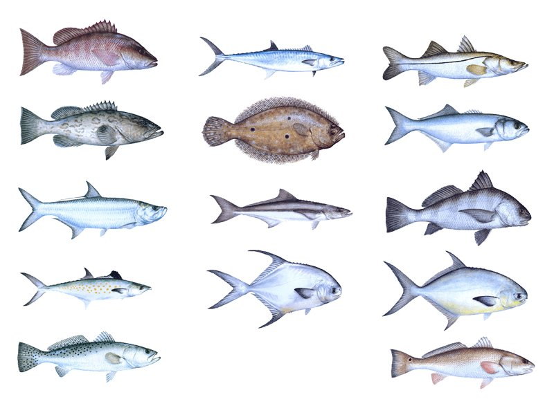 Saltwater fish of florida 17 x 22 florida salt water for Florida saltwater fish species
